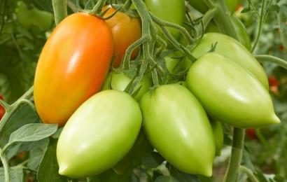 Yaşıl pomidorun bilinməyən faydaları