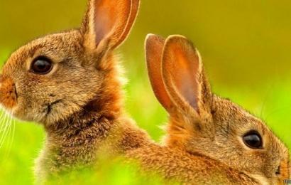 Səhiyyə Nazirliyi əhalini dovşanlar kimi çoxalmağa çağırdı – VİDEO